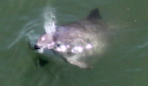 picture from Golden Gate Cetacean