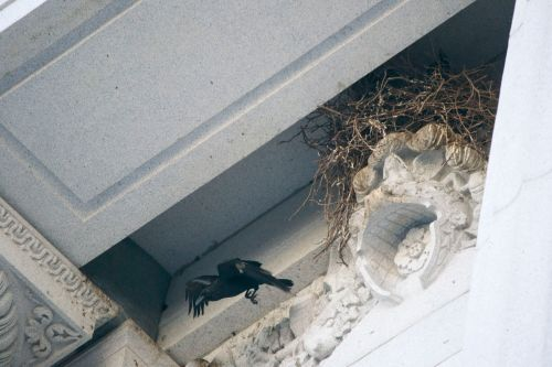 City Hall Raven Nest