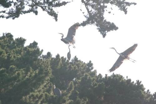 Great Blue Herons at Crissy Field