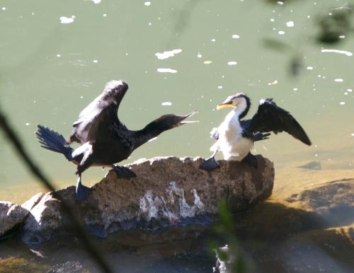 Cormorant versus Cormorant