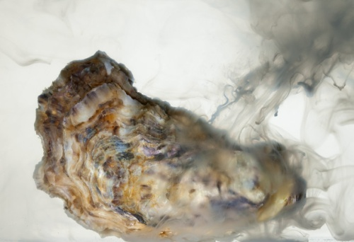 A Male Pacific Oyster, Crassostrea gigas Whisky Creek Shellfish Hatchery Netarts, Oregon