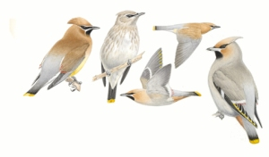 Illustrations of Cedar Waxwings
